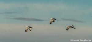 3889 Sandhill Cranes (Grus canadensis), Bosque del Apache NWR, New Mexico