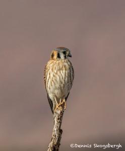 3890 Female American Kestrel (Falco sparverius), Bosque del Apache NWR, New Mexico