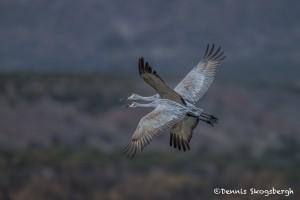 3891 Sandhill Cranes (Grus canadensis), Bosque del Apache NWR, New Mexico