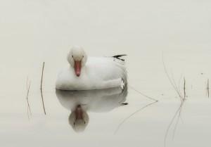 3897 Snow Goose (Chen caerulescens), Bosque del Apache NWR, New Mexico