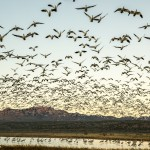 3901 Lift-off at Sunrise, Bosque del Apache, New Mexico