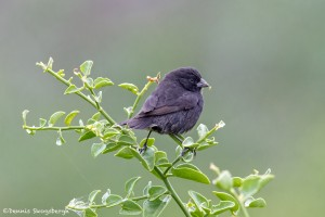 3904 Small Tree Finch, Genovesa Island, Galapagos