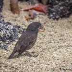 3905 Large Ground Finch, Genovesa Island, Galapagos