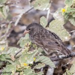 3906 Small Tree Finch, Genovesa Island, Galapagos