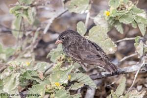 3906 Small Tree Finch, Genovesa Island, Galapagos