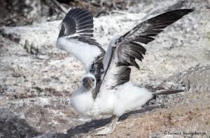 3910 Fledgling Red-footed Booby Praticing Wing-flapping Skills, Genovesa Island, Galapagos