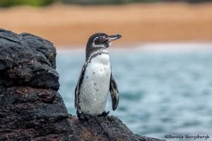 3911 Galapagos Penguin, Santiago Island, Galapagos