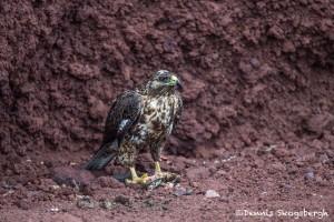 3917 Galapagos Hawk (Buteo galapagoensis) eating an iguana, Rabida Island, Galapagos