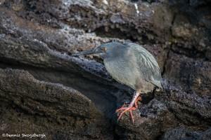 3924 Striated Heron (Butorides striata), Rabida Island, Galapagos