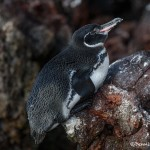3925 Galapagos Penguin, Rabida Island, Galapagos