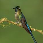 3929 Violet-tailed Sylph (Aglaiocercus coelestis), Tandayapa Lodge, Ecuador