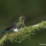 3931 Immature Booted Racket-tailed Hummingbird (Ocreatus underwoodii), Tandayapa Lodge, Ecuador
