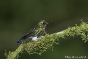 3931 Immature Booted Racket-tailed Hummingbird (Ocreatus underwoodii), Tandayapa Lodge, Ecuador