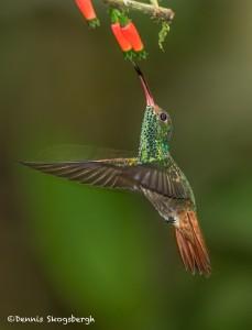 3938 Rufous-tailed Hummingbird (Amazilia tzacatl), Milpe Bird Sanctuary, Ecuador