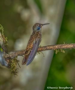 3940 Brown Violetear (Colibri delphinae), Tandayapa Lodge, Ecuador