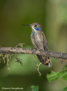 3941 Brown Violetear (Colibri delphinae), Tandayapa Lodge, Ecuador