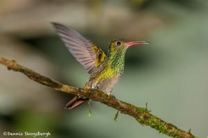 3942 Rufous-tailed Hummingbird (Amazilia tzacatl), Tandayapa Lodge, Ecuador