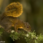 3945 Red-tailed Squirrel (Sciurus granatensis), Tandayapa Lodge, Ecuador