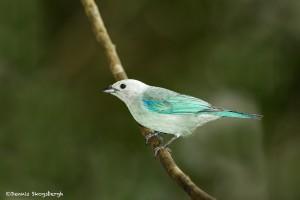 3946 Blue-gray Tanager (Thraupis episcopus), Tandayapa Lodge, Ecuador
