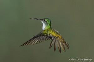 3951 Andean Emerald (Amazilia franciae), Tandayapa Lodge, Ecuador
