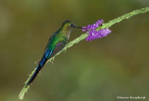 3956 Violet-tailed Sylph (Agaiocercus coelestis), Tandayapa Lodge, Ecuador