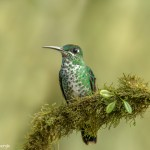 3958 Green-crowned Brilliant (Heliodoxa jacula), Tandayapa Lodge, Ecuador