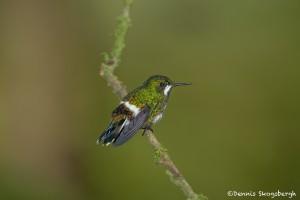 3959 Green Thorntail (Popelairia langsdorffi), Milpe Bird Sanctuary, Ecuador