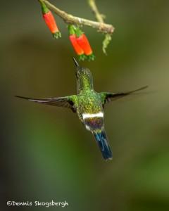 3960 Green Thorntail (Popelairia langsdorffi), Milpe Bird Sanctuary, Ecuador