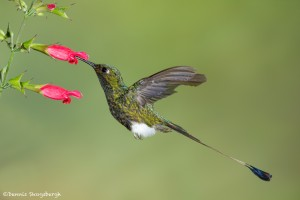 3968 Booted Racket-tailed Hummingbird (Ocreatus underwoodii), Tandayapa Lodge, Ecuador