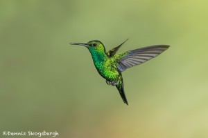 3969 Western Emerald (Chlorostilbon melanorhyncus). Tandayapa Lodge, Ecuador
