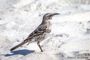 3971 Espanola (Hood) Mockingbird (Nesomimus macdonaldi), Espanola Island, Galapagos