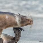3973 Sea Lion, Espanola Island, Galapagos