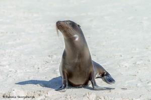 3974 Sea Lion, Espanola Island, Galapagos