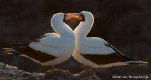 3978 Nazca Booby Pair, Espanola Island, Galapagos