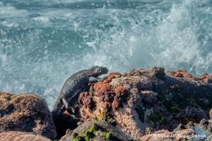 3980 Marine Iguana, Espanola Island, Galapagos