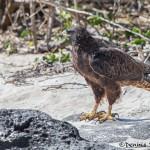 3981 Galapagos Hawk (Buteo galapagoensis), Espanola Island, Galapagos