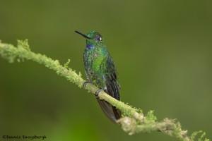 3985 Green-crowned Brilliant (Heliodoxa jacula), Tandayapa Lodge, Ecuador