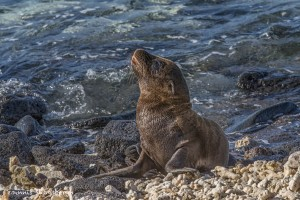 3987 Young Sea Lion, Chinese Hat Island, Galapagos