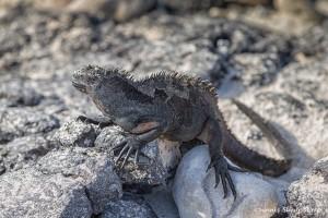 3988 Marine Iguana, Chinese Hat Island, Galapagos