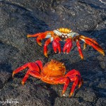 3989 Sally Lightfoot Crab Confrontation (Graspus grapsus), Chinese Hat Island, Galapagos