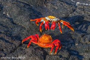 3989 Sally Lightfoot Crab Confrontation (Graspus grapsus), Chinese Hat Island, Galapagos