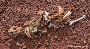 3990 Marine Iguana Remains, Chinese Hat Island, Galapagos