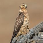 3991 Galapagos Hawk (Buteo galapagoensis), Chinese Hat Island, Galapagos
