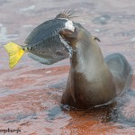 3993 Young Sea Lion with Sturgeon, Rabida Island, Galapagos
