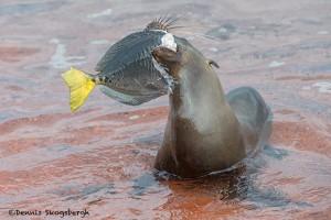 3993 Young Sea Lion with Sturgeon, Rabida Island, Galapagos