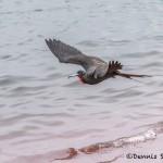 3995 Male Frigatebird (Fregata magnificens), Rabida Island, Galapogos