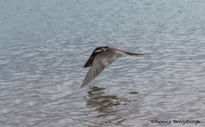 3996 Male Frigatebird (Fregata magnificens), Rabida Island, Galapogos