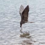 3997 Male Frigatebird (Fregata magnificens), Rabida Island, Galapogos