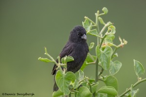 4000 Small Tree Finch, Rabida Island, Galapagos