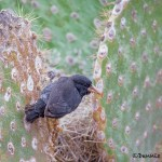 4001 Cactus Finch, Rabida Island, Galapagos